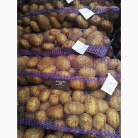 Продам картофель товарный, сорт Янка