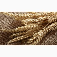 Закупаем пшеницу 2-4 класс возможен самовывоз
