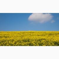 Куплю урожай масличных: Рапс