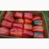 Продажа кубовидного перца, сорт-клерени, геркулес, том, аида
