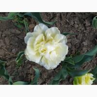Продам цибулини тюльпанів
