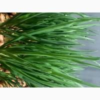 Продажа зеленого лука (лук перо)