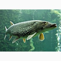 Зарыбление водоема личинкой хищных видов рыб
