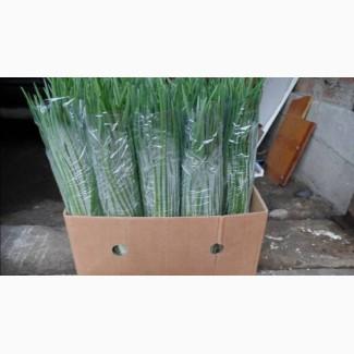 Лук перо (домашня зелень)