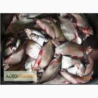 Куплю свежую и свежемороженую речную рыбу оптом в ассортименте. Возможен самовывоз