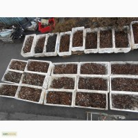 Продам маточный корень малины и ежевики