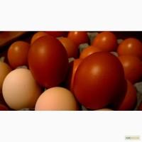 Продам инкубационные яйца курей Маранс, Маран
