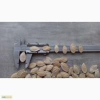 Семена тыквы сорт Украинская многоплодная калибр 11+, очищена на фотосепараторе
