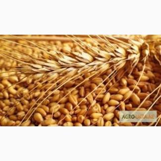 Закуповуємо пшеницю фуражну