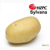 Семена картофеля Сильвана