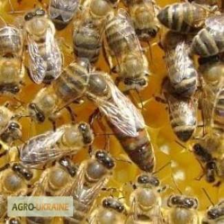 Продам бджолопакети 100 шт