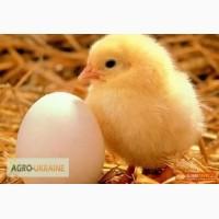 Реализуем инкубационное яйцо бройлера РОСС-708, РОСС-308 и КОББ-500