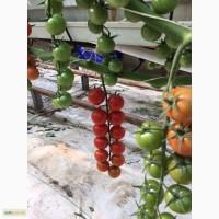 Томат на ветке черри помидор