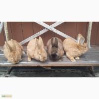 Продаються кролики Бургундської породи