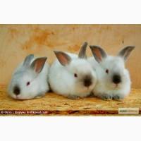 Продам крольчат, породы калифорнийская обер и белый панон