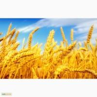 Куплю пшеницу оптом