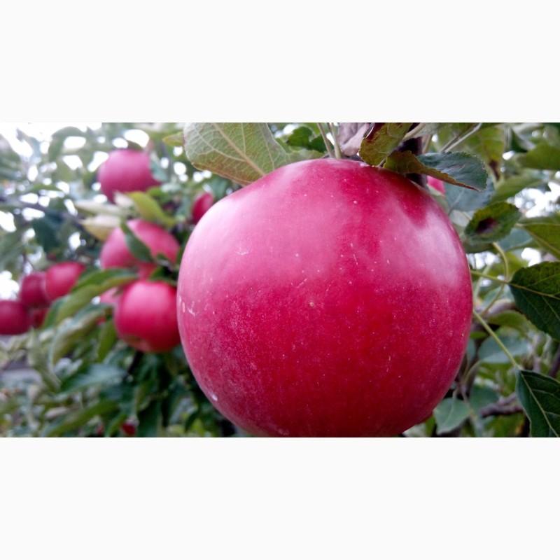 Продам яблука з власного саду опт, Хмельницкая обл.