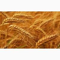 Закупаем пшеницу 2, 3 классы