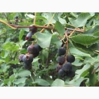 Ирга саженцы - вкусная лечебная ягода, Уже в продаже