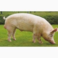 Куплю свиней на мясо