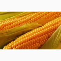 Куплю кукурузу с поля