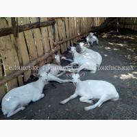 Принимаем заказы на молодняк зааненских коз