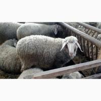 Продам баранов немецкой породы Мериноланд на племя