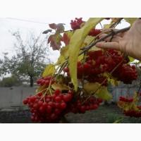 Продам саженцы садовой высокоурожайной калины