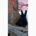 Кролики помесь