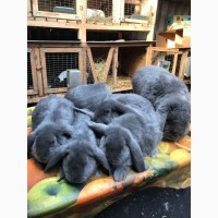 Продам кролів молодняк французького барана голубого окрасу