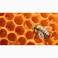 Продам бджолосім#039;ї для лежака, Вінницька область