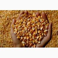 Семена кукурузы импортной и украинской селекции. Одесса