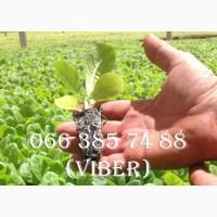 Принимаем заказы на выращивания рассады табака