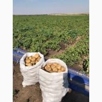 Продам молодой картофель сорт Ривьера, Херсонская обл