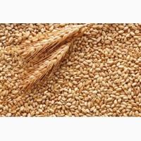 Закуповуємо пшеницю