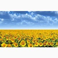 Куплю насіння соняшника у виробників
