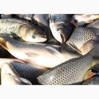 Продам Рыбу (Толстолоб, Карп ) 19 грн. опт