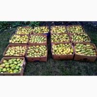 Куплю грушу на сік (від 700 кг на місяць)