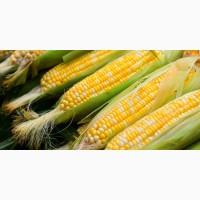 Купляємо кукурудзу оптом, від 20 тонн
