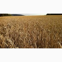 Семена озимой пшеницы Октава Одесская (1 репродукция ) урожай 2021 г