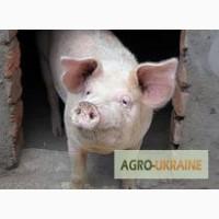 Продам мясо свиньи живым весом