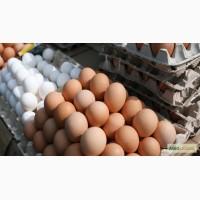 Продам яйца