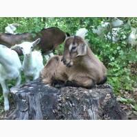 Козлята: зааненские, нубийские, альпийские, ламанча. Коза. Племенной козёл