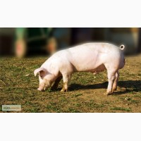 Продаем свиней живым весом 80-100 кг оптом
