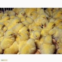 Бройлер суточные цыплята КОББ 500 с вакцинацией