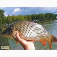 Продам рыбу живую оптом карп, карась, толстолоб, белый-амур, щука