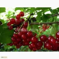 Саженцы красноплодной смородины