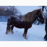 Продам жеребца Новоалександровский тяжеловоз