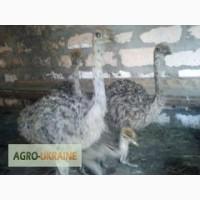 Продам страусят