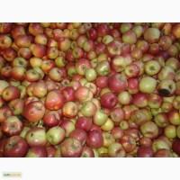 Продам яблоки оптом Vitagro